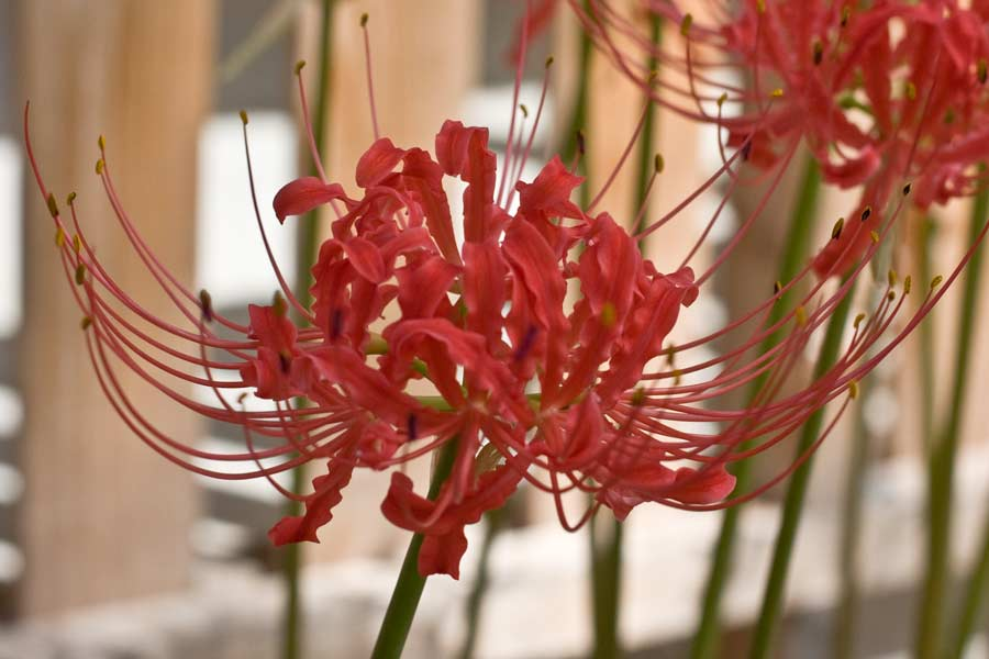 lycoris-rad09